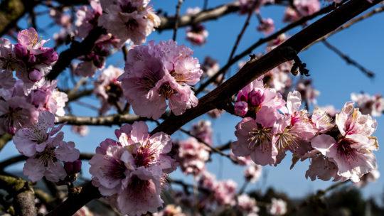 Ausflug zum Mandelbluetenfest in die Pfalz am 23. Maerz 2019